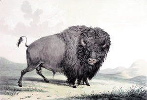 A Buffalo bull grazing